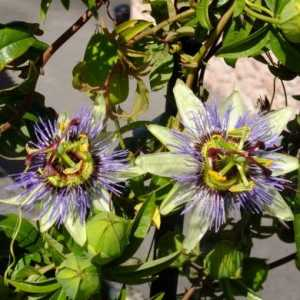 "Passionflower - ""Cavaliers stele"""